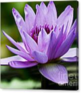Purple Petals Water Lily Canvas Print