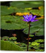 Purple Waterlily Canvas Print