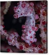 Pygmy Seahorse, Australia Canvas Print
