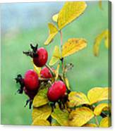 Pyracantha Berries Life Canvas Print