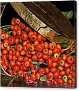 Pyracantha Berries Canvas Print