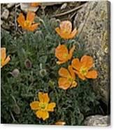 Pyrenean Poppy (papaver Lapeyrousianum) Canvas Print