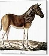 Quagga (equus Quagga) Canvas Print