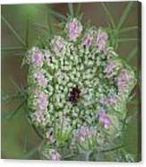 Queen Anne's Lace Flower Partly Open With Dew Canvas Print