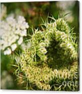 Queen Anne's Lace Going To Seed Canvas Print