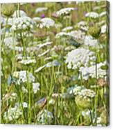 Queen Anne's Lace In All Its Glory Canvas Print