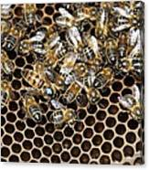 Queen Bee With Worker Bees Canvas Print