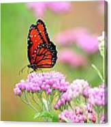 Queen Butterfly Sitting On Pink Flowers Canvas Print