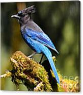 Quinault Lake Stellar Jay Canvas Print