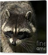 Raccoon 2 Canvas Print