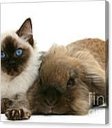 Ragdoll Kitten And Lionhead Rabbit Canvas Print