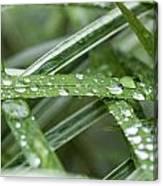 Rain Drops On Grasses Canvas Print