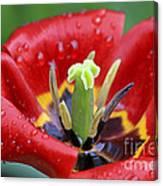 Rain Kissed Tulip 2 Canvas Print