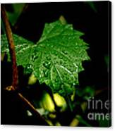 Rain On Ivy Canvas Print