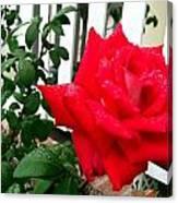 Rain Rose Canvas Print