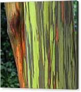 Rainbow Gum Tree Hawaii Canvas Print