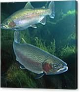 Rainbow Trout Oncorhynchus Mykiss Pair Canvas Print