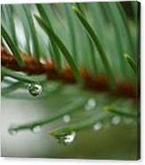 Raindrops And Fir Needles Canvas Print
