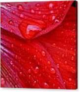Raindrops On Amaryllis Canvas Print