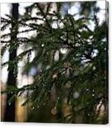 Raindrops On The Spruce Twig Canvas Print
