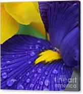 Raindrops Purple Dutch Iris Flower Canvas Print