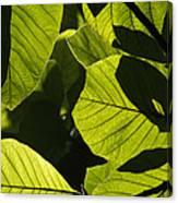 Rainforest Leaves Showing Sunlight Canvas Print