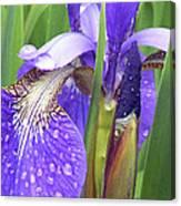 Rainy Day Iris  Canvas Print