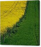 Rapeseed Growing In A Field, Ireland Canvas Print