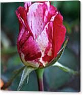 Raspberry Swirl Rose Canvas Print