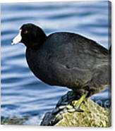 Ready Set Jump- American Coot Prepares To Dive  Canvas Print