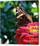 Red Admiral Probocis Canvas Print