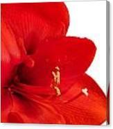 Red Amaryllis  Canvas Print