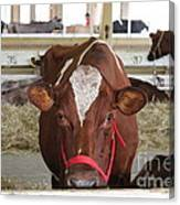 Red And White Cow In A Stable Close Up Canvas Print