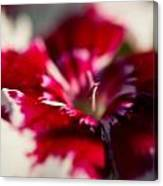 Red And White Dianthus Canvas Print