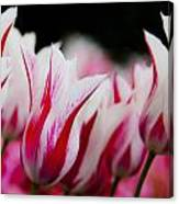 Red And White Tulips In Holland Canvas Print