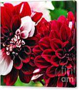 Red And White Variegated Dahlia Canvas Print