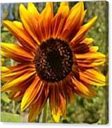 Red And Yellow Sunflower Canvas Print