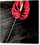 Red Anthrium Canvas Print