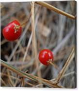 Red Asparagus Berries Canvas Print