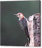 Red-bellied Woodpecker - Looking For Food Canvas Print