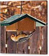 Red-bellied Woodpecker At Lunch Canvas Print