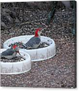 Red Bellied Woodpeckers Male And Female Canvas Print