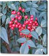 Red Berries 1 Canvas Print