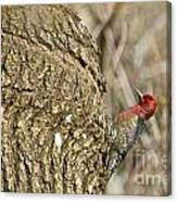 Red-breasted Sapsucker 3 Canvas Print