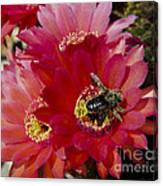 Red Cactus Flower With Bumble Bee Canvas Print