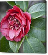 Red Camellia Squared Canvas Print