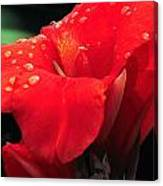 Red Canna With Raindrops Canvas Print