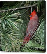 Red Cardinal In Green Pine Canvas Print