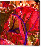 Red Chard Canvas Print