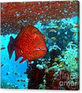 Red Close-up Grouper Canvas Print